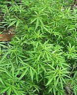 Cannabis: Legalisierung in Washington, D.C.