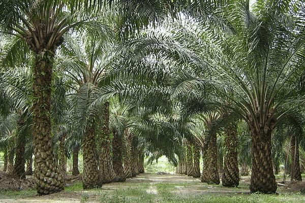 Der Preis des Palmöls